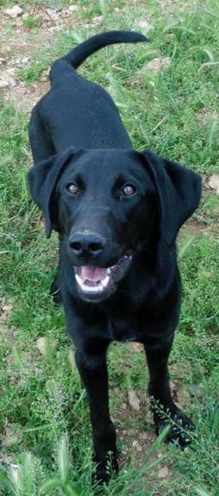 TANGUY - x labrador noir 4 ans - Refuge 13 des Chiens  en Liberté à Aix en Provence (13) 2015Tanguy2